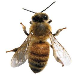 Картинка: покров пчелы