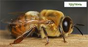 Трутень - пчела мужского пола